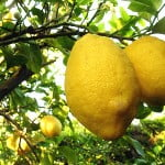 Crema di limone della Nonna