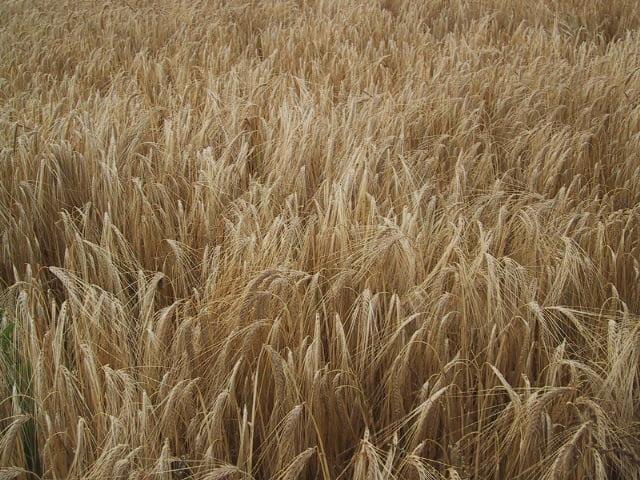 Le Virtù dei cereali secondo Nonna: l'Orzo