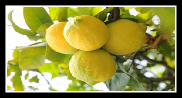 Olio essenziale al Limone fatto in casa