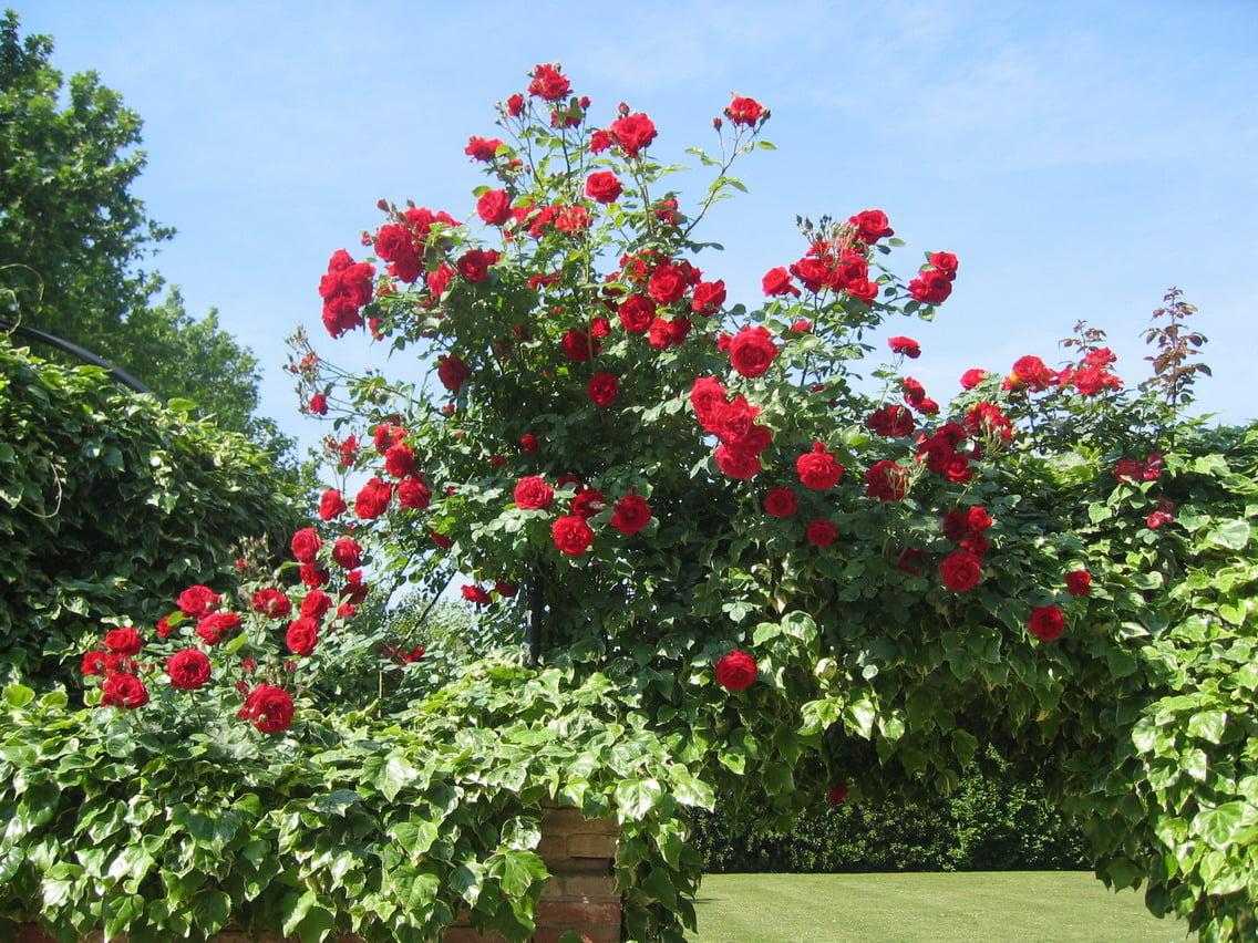 I Rimedi della Nonna per la cura delle Rose