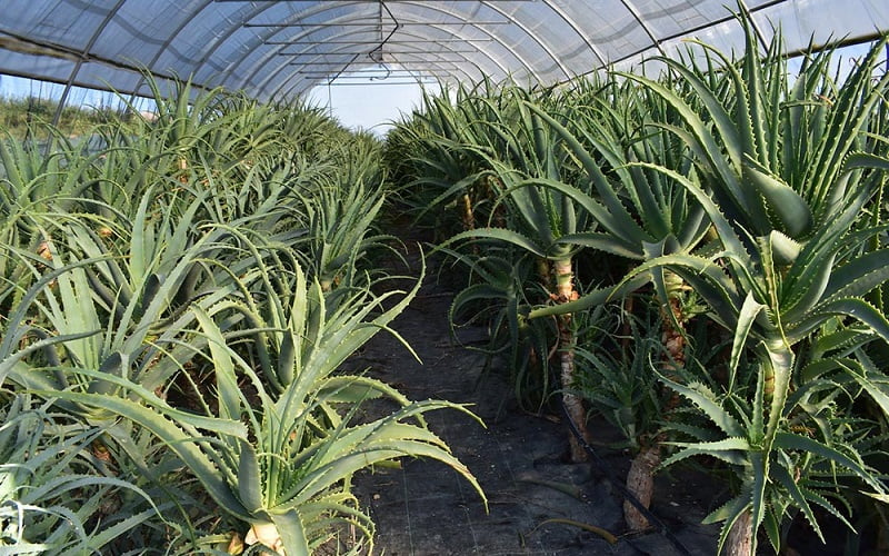 I benefici del succo di Aloe Arborescens