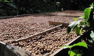 le noci di macadamia e i loro numerosi benefici