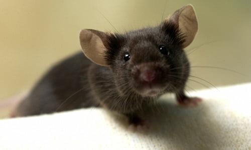 Rimedi casalinghi per sbarazzarsi dei topi