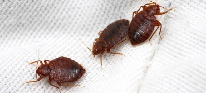 I rimedi della nonna per liberarsi dalle cimici dei letti - Rimedi per le formiche in casa ...