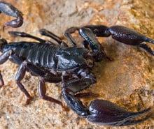rimedi-naturali-scorpioni