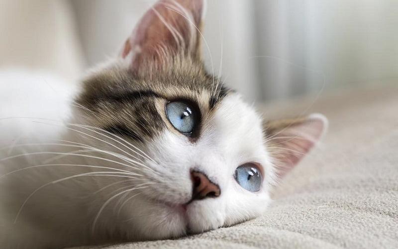 Guida completa per togliere l'odore di urina dei gatti da divani, tappeti e tessuti